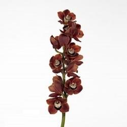 Орхидея Цимбидиум шоколадная