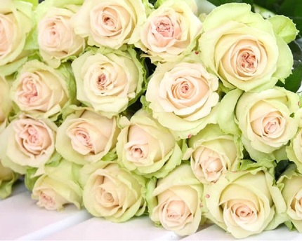 Роза Марципан (Marzipan)