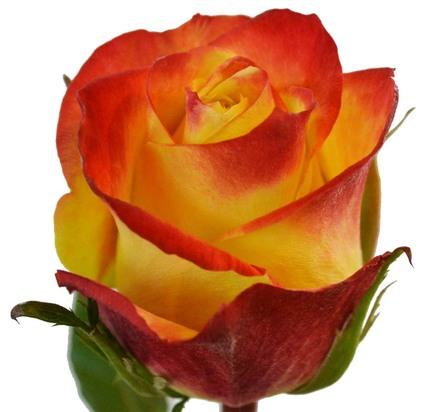 Роза Тукон