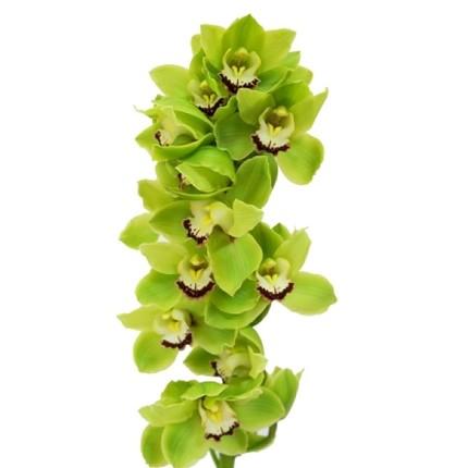 Орхидея Цимбидиум зеленая