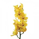 Орхидея Цимбидиум желтая