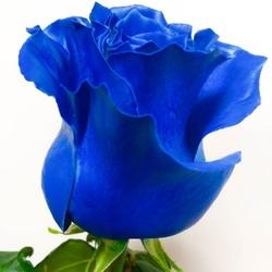 Роза Мондиаль 60 см (синяя)