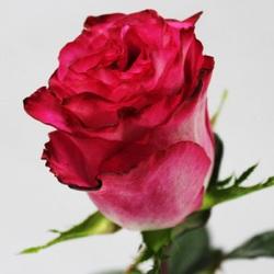 Роза Карусель (Carousell)