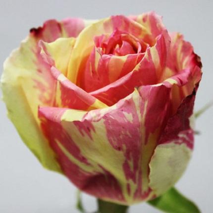 Роза Фиеста (Fiesta)
