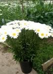 Ромашка садовая поштучно от 25 шт (Россия)