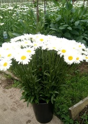 Ромашка садовая поштучно до 25 шт (Россия)