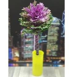 Брассика фиолетовая (поштучно)