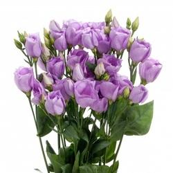 Лизиантус фиолетовый (поштучно)