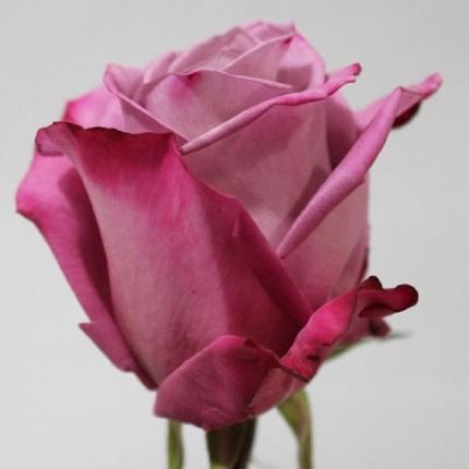 Роза Моди Блюз (Moody Blues)