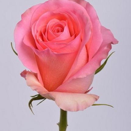 Роза Сага