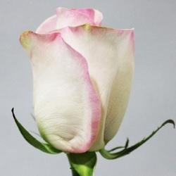 Роза Сеньорита