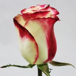 Роза Свитнес (Sweetness)
